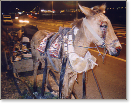 Severely abused mule