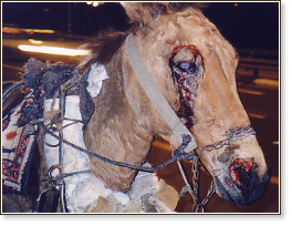 Severely abused mule, close up